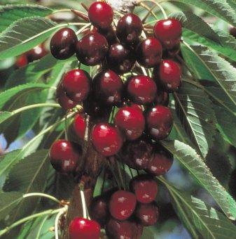 Череша сорт Стела /Cherry Stella/