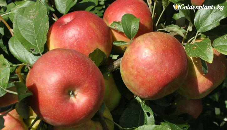 Снимка Ябълка сорт Бребърн /Apple Braeburn Schneider/