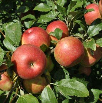 Ябълка сорт Бребърн /Apple Braeburn Schneider/