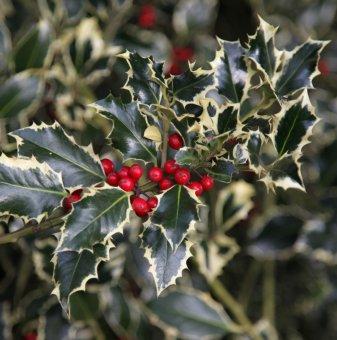 Джел с пъстри листа /Ilex aquifolium Argentea Marginata/..
