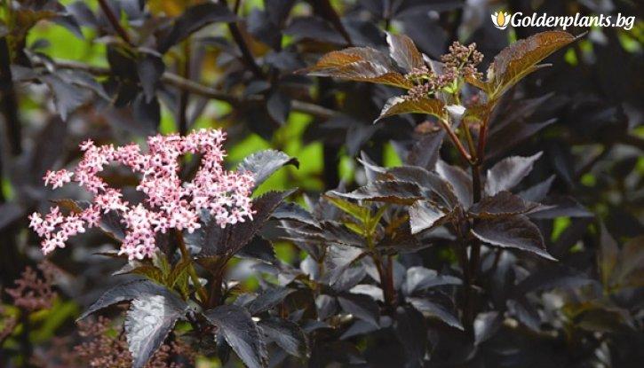 Снимка Черен бъз сорт Черна красавица /Sambucus nigra Black Beauty/
