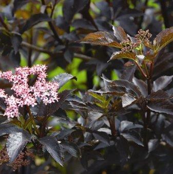Черен бъз сорт Черна красавица /Sambucus nigra Black Beauty/..