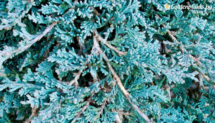 Снимка Хвойна Ice Blue /Juniperus hor. Ice Blue/