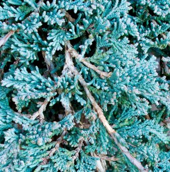 Хвойна Icee Blue /Juniperus hor. Icee Blue/