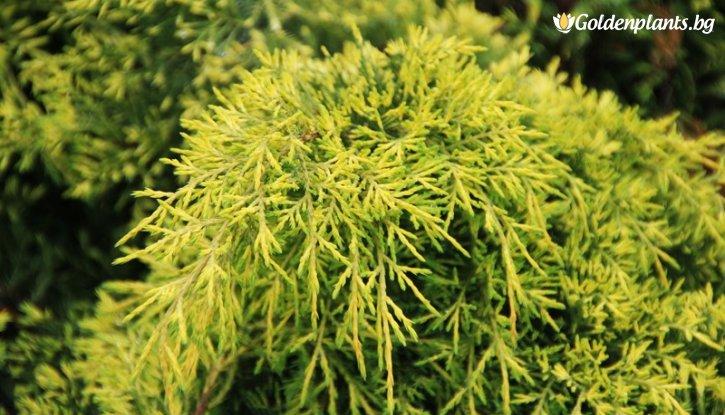 Снимка Хвойна Краля на пролетта /Juniperus king of spring/
