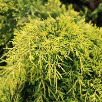 Хвойна Краля на пролетта /Juniperus king of spring/..
