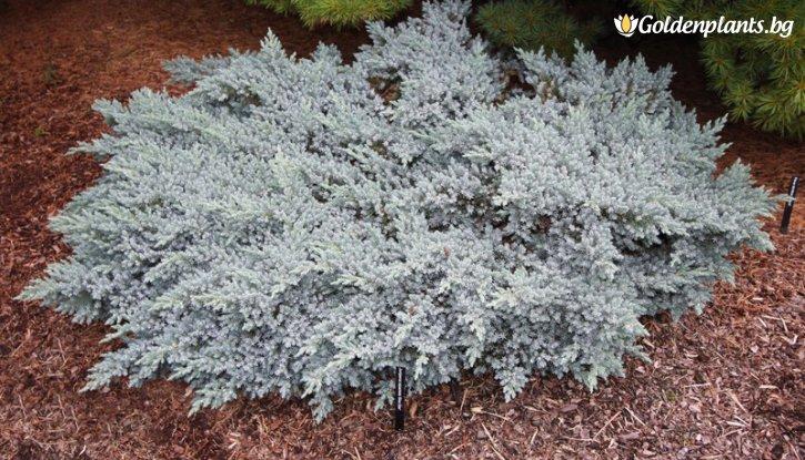 Снимка Хвойна, Смрика Синя звезда /Juniperus squamata Blue Star/