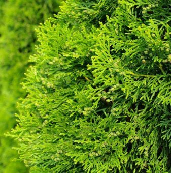 Туя Златен Брабант / THUJA occidentalis Golden Brabant/...