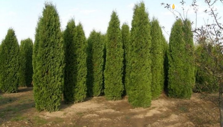 Снимка Туя колоновидна /Thuja occidentalis Columna/