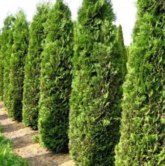 Туя колоновидна /Thuja occidentalis Columna/