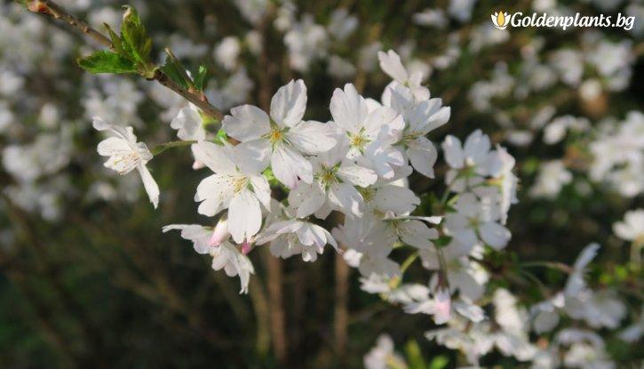 Снимка Декоративна череша Лоте /Prunus incisa Lotte/