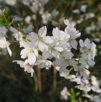 Декоративна череша Лоте /Prunus incisa Lotte/