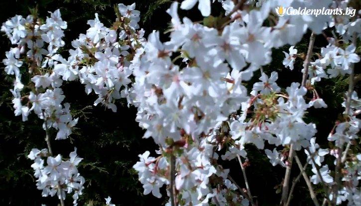 Снимка Японска череша Брилянт /Prunus Nipponica Brilliant/