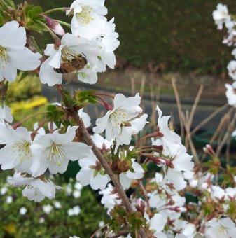 Японска череша Брилянт /Prunus Nipponica Brilliant/ ..