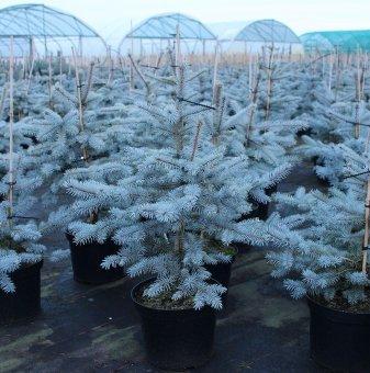 Сребрист Смърч - Коледно дръвче 90-100см. /Picea Pungens/...