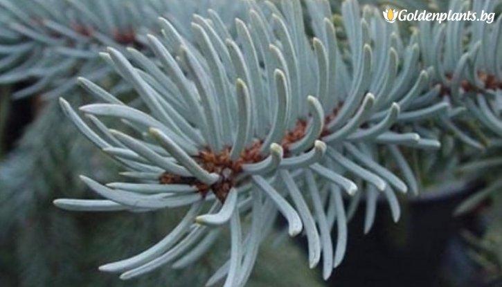 Снимка Сребрист Смърч - Коледно дръвче 90-100см. /Picea Pungens/