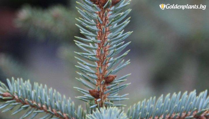 Снимка Сребрист Смърч Glauca - Коледно дръвче 40-50см. /Picea Pungens Glauca/
