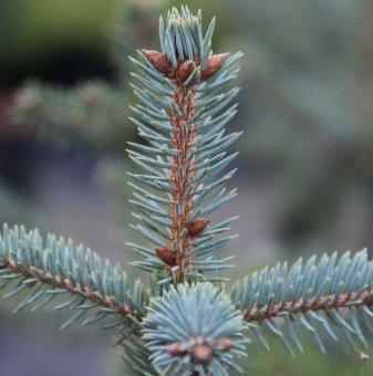 Сребрист Смърч Glauca - Коледно дръвче /Picea Pungens Glauca/...