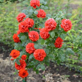 Оранжева плачеща роза - Дърво 110 - 140 см.