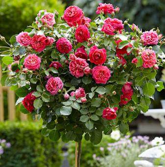 Тъмнорозова щамбова роза - Дърво 110 - 140 см.