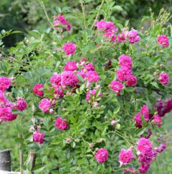 Цикламена плачеща роза - Дърво 110 - 140 см....