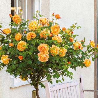 Портокалова щамбова роза - Дърво 110 - 140 см....