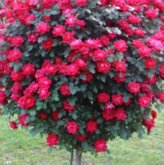 Цикламено-червена щамбова роза - Дърво 110 - 140 см...