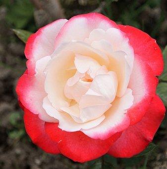Бяло-червена роза
