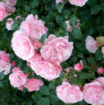 Светлорозова катерлива роза