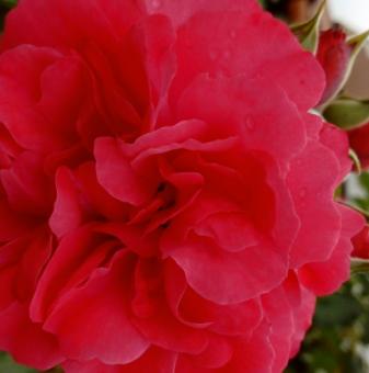 Червена английска катерлива роза
