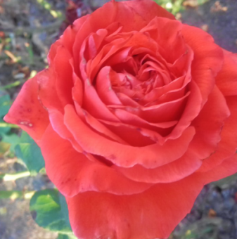 Оранжево-червена роза