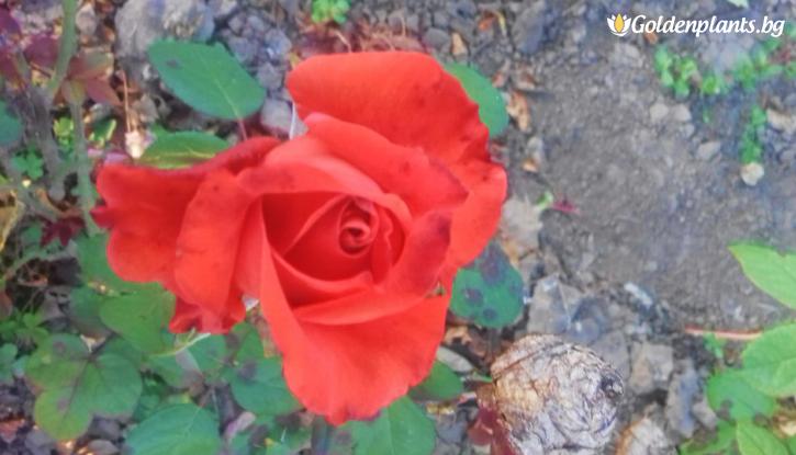 Снимка Оранжево-червена роза