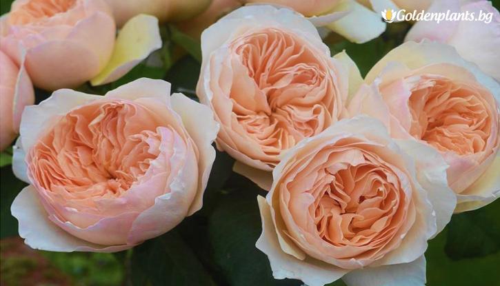 Снимка Катерлива роза цвят Праскова