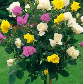 Бяло, тъмножълто, лилава щамбова роза - Дърво 110 - 140 см....