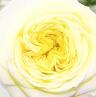 Роза жълтованилен божур