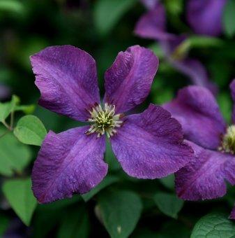 Клематис Виолетова звезда /Clematis  Etoile Violette/..