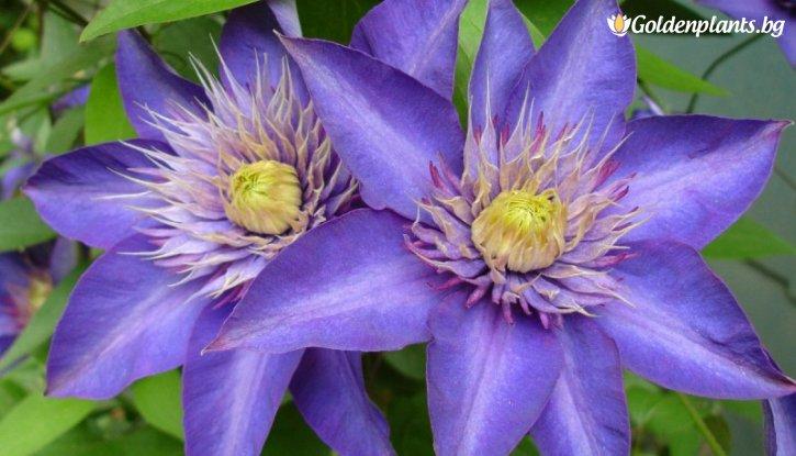 Снимка Клематис Мулти блу 40-50см. /Clematis multi blue/