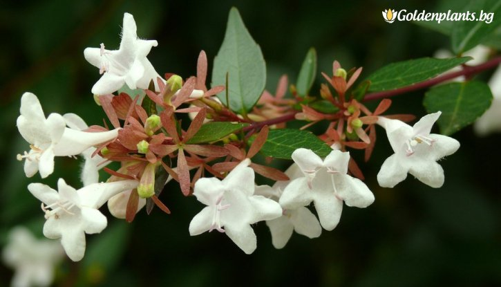 Снимка Едноцветна Абелия /Abelia x grandiflora/
