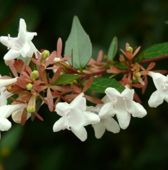 Едноцветна Абелия /Abelia x grandiflora/