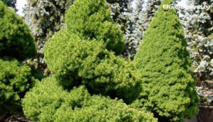 Снимка Конусовиден Смърч /Picea abies Conica/