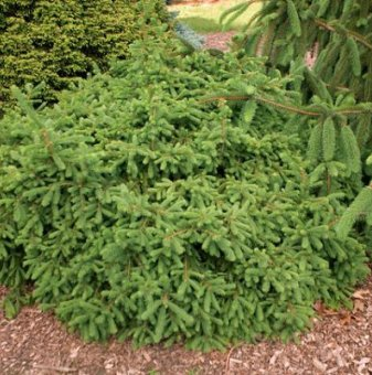 Кълбовиден смърч /Picea abies Globosa/