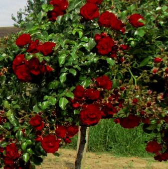 Тъмночервена плачеща роза - Дърво 110 - 140 см.
