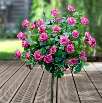 Магическо розово-бяла щамбова роза - Дърво 110 - 140 см....
