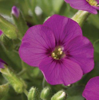 Аубриета Роуз Ред /Aubrieta Rose Red Florado gracilis/..