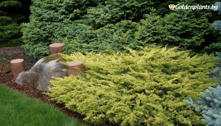 Снимка Юниперус хоризонталис Lime Glow /Juniperus hor. Lime Glow/