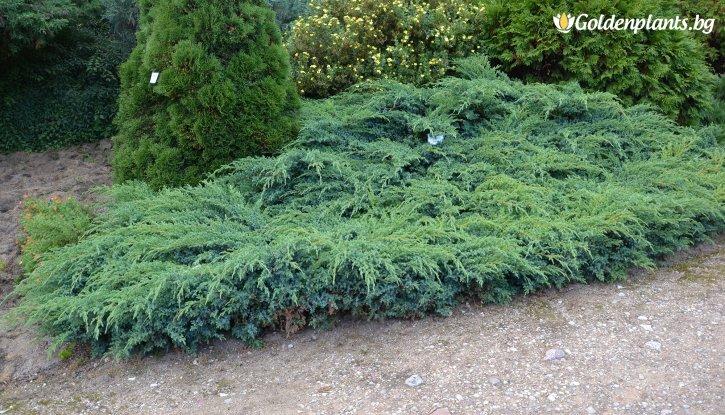 Снимка Юниперус Blue Swede-Hunnetorp /Juniperus Blue Swede-Hunnetorp/