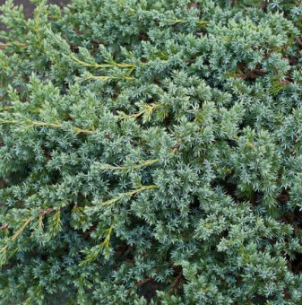 Юниперус Blue Swede-Hunnetorp /Juniperus Blue Swede-Hunnetorp/ ..