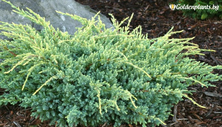 Снимка Юниперус скамата Холгер /Juniperus squamata Holger/