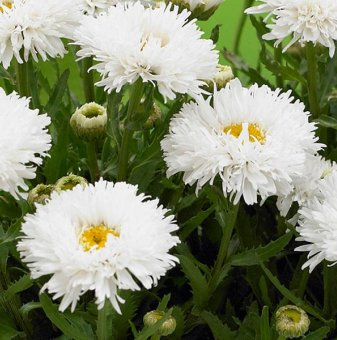 Маргаритка сорт У ля ля гранде /Leucanthemum Ooh La La grande/ ..