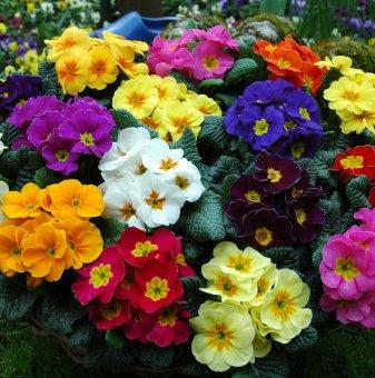 Иглика смесица 6 цвята /Primula Mix/